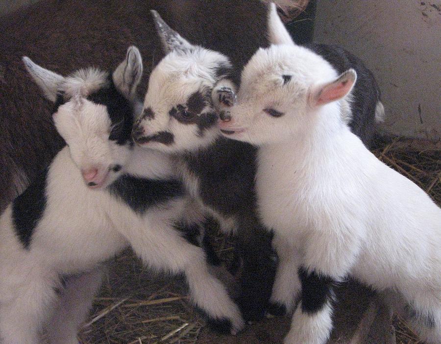 Goats Photograph - Baby Goats 1742 by Carol Hoffman