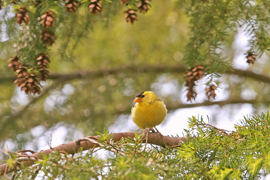 Baby Goldfinch Photograph by Peggy Collins