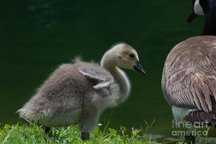 Baby Gosling Photograph