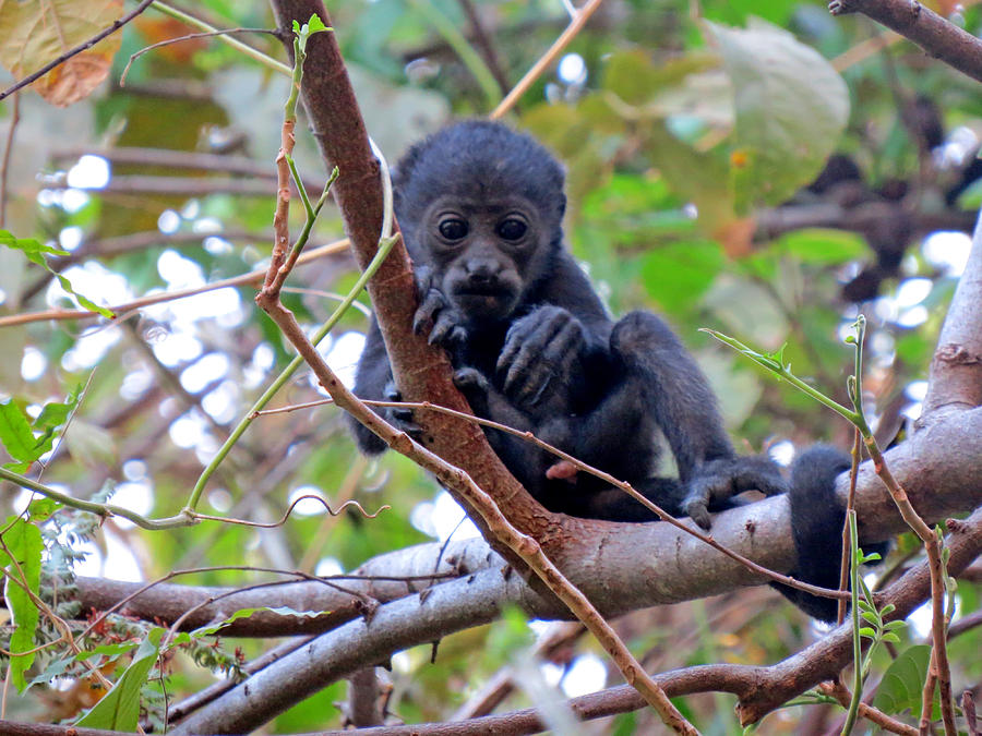 Baby Monkey Photograph - Baby Howler Monkey  by Melanie Beckler