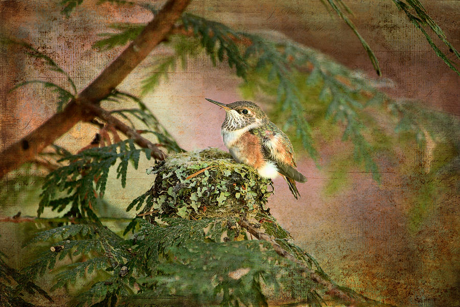 Hummingbirds Photograph - Baby Hummingbird in the Forest by Peggy Collins