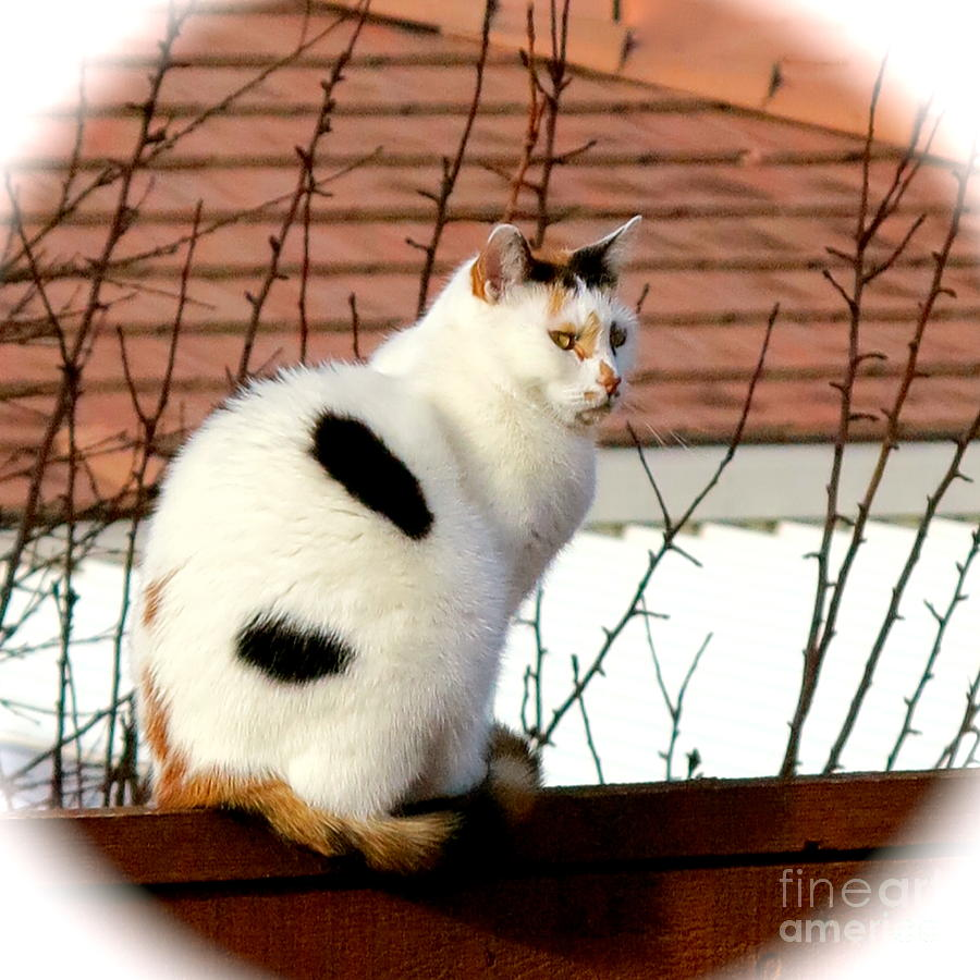 Calico Cat Photograph - Baby Its Cold Outside by Phyllis Kaltenbach