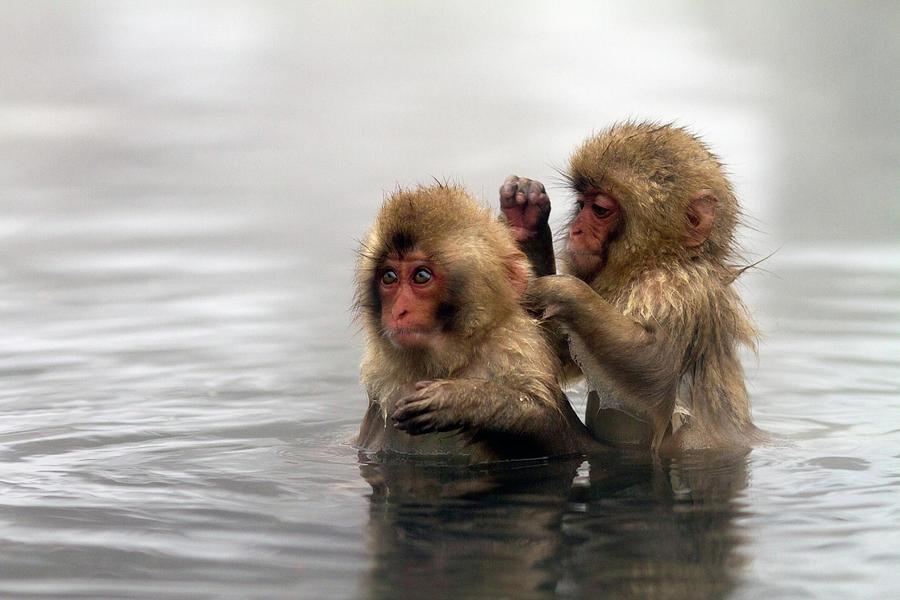 Baby Japanese Macaques Snow Monkeys Photograph by Oscar Tarneberg