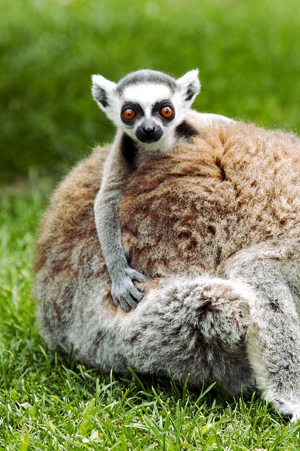 Baby Photograph - Baby lemur by Goyo Ambrosio