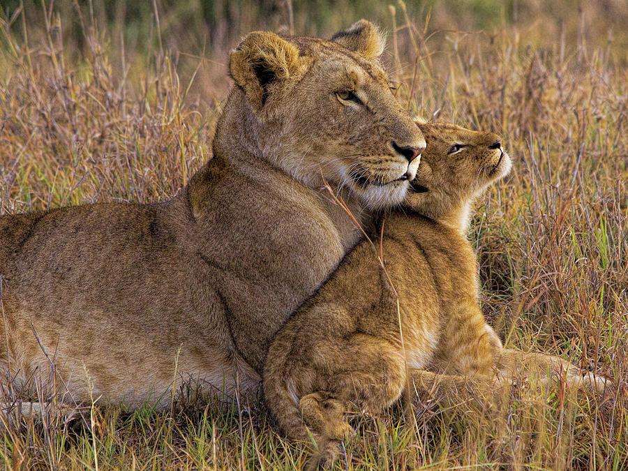 Lion Photograph - Baby Lion With Mother by Henry Jager