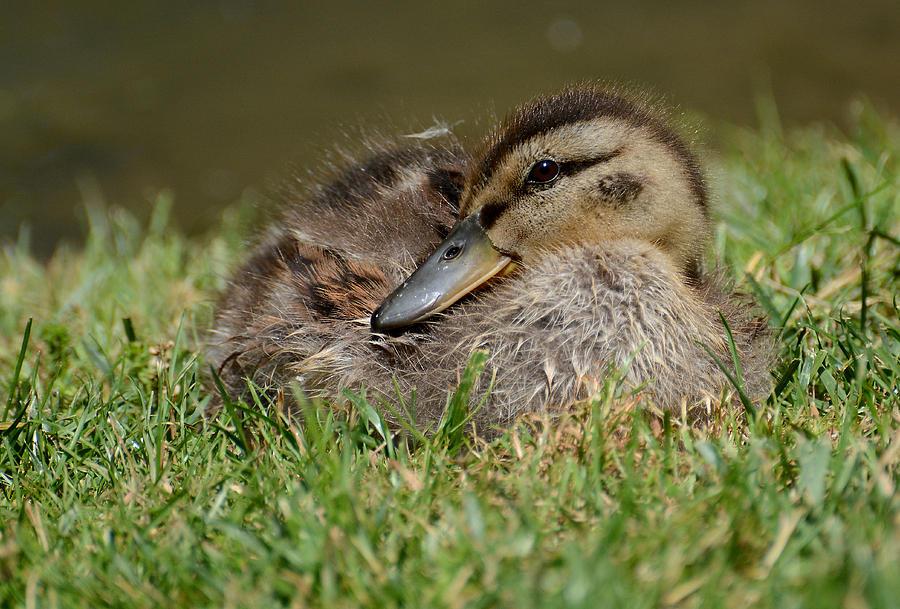 Mallard Duck Photograph - Baby Mallard by Todd Hostetter