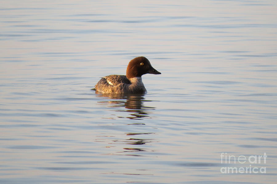 Water Photograph - Baby Merganser by Mary Mikawoz