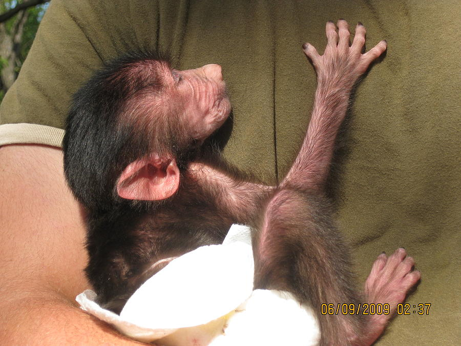 Animal Photograph - Baby Monkey by Dick Willis
