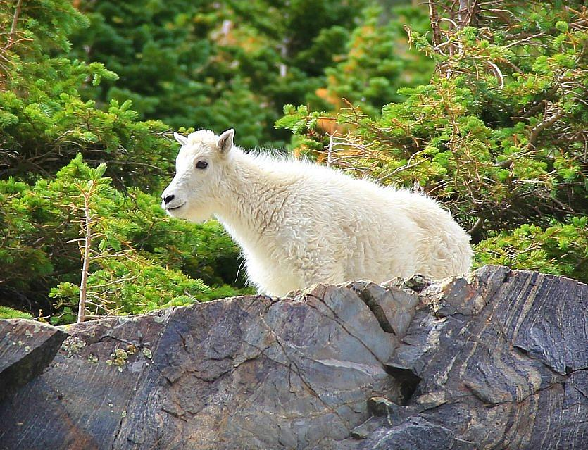 Colorado Photograph - Baby Mountain Goat by Danielle Marie