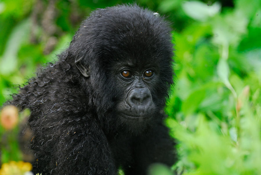Baby Photograph - Baby Mountain Gorilla by Stefan Carpenter
