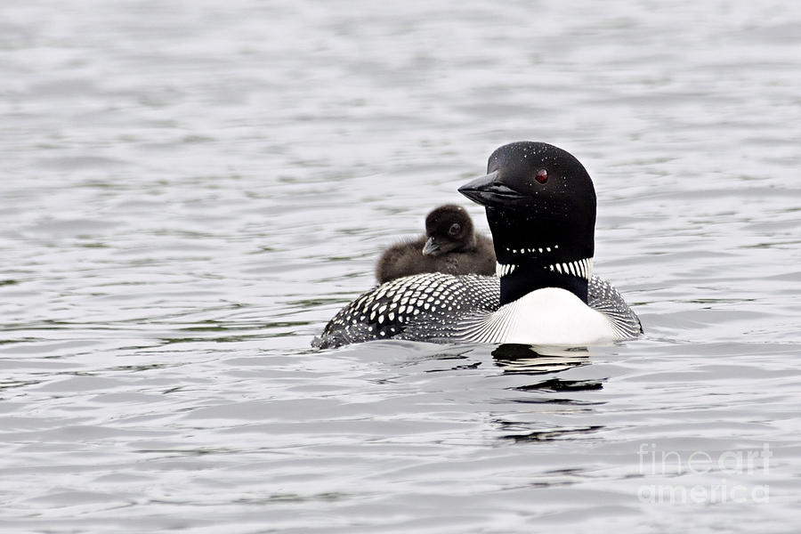 Nature Photograph - Baby on Board by Larry Ricker