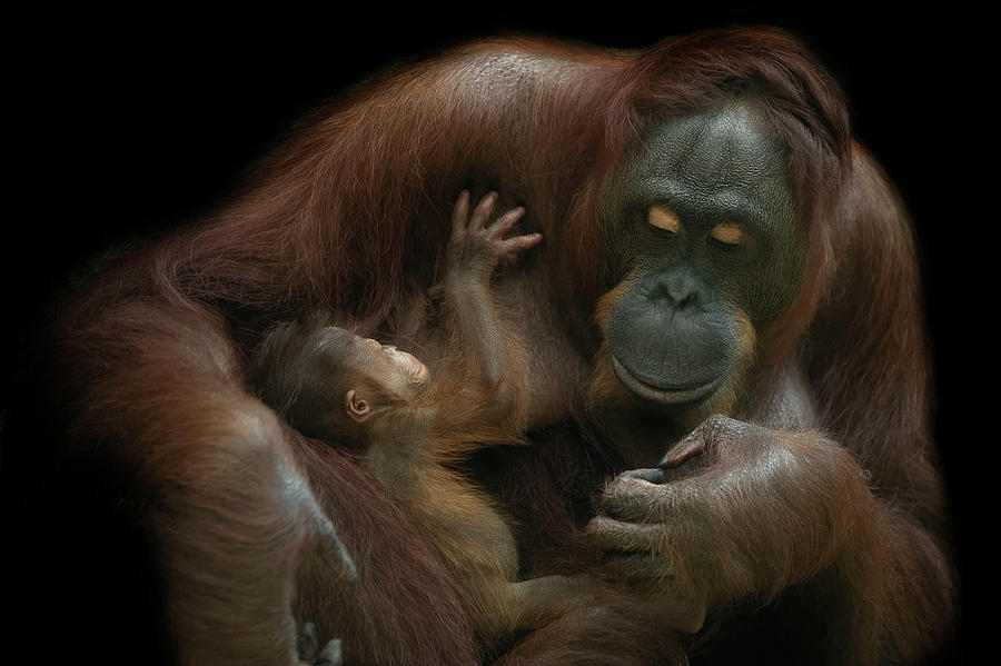 Baby Photograph - Baby Orangutan & Mother by David Williams