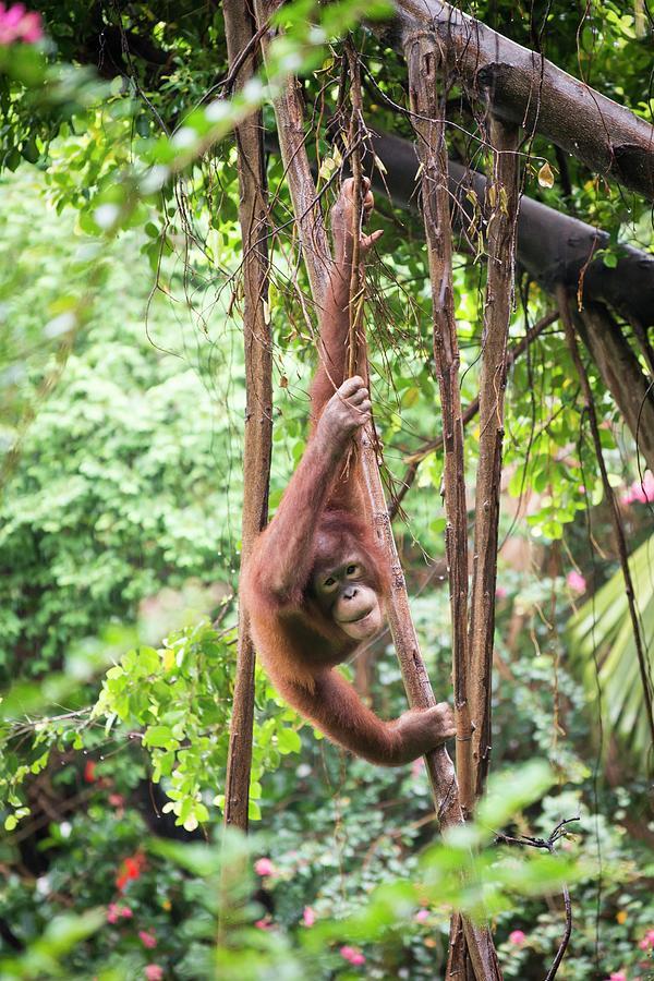 Biology Photograph - Baby Orangutan by Pan Xunbin