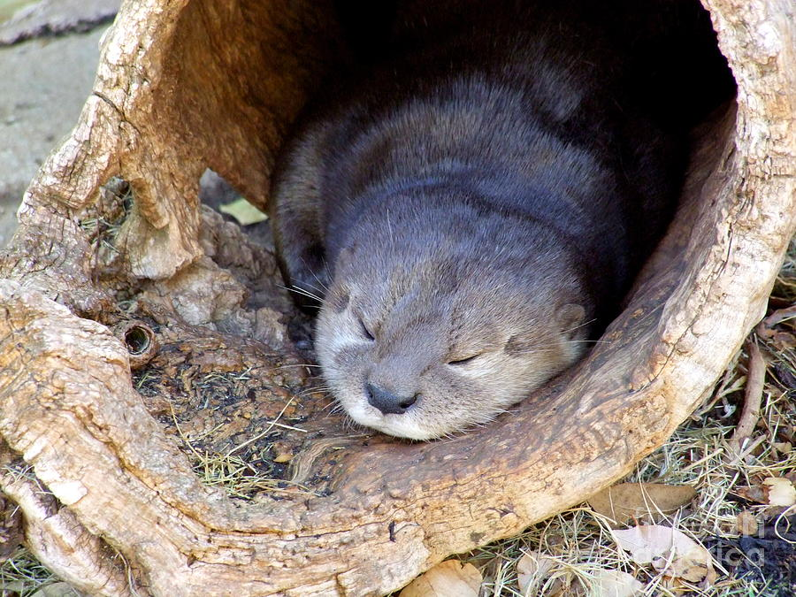 Otter Photograph - Baby Otter by Mary Deal
