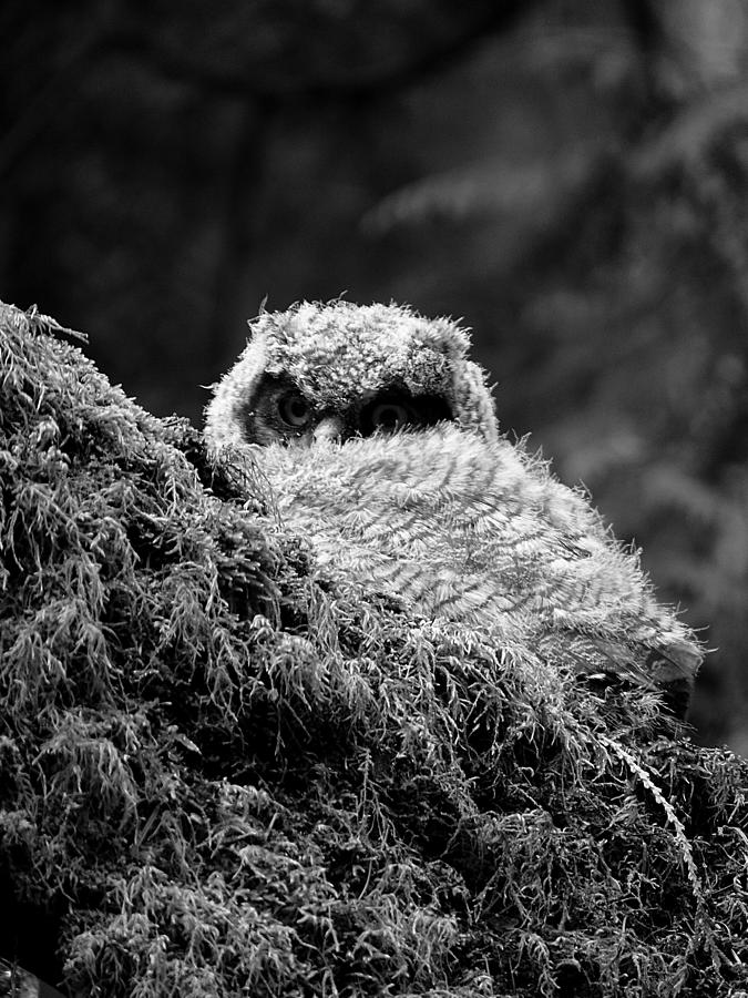 Owl Photograph - Baby Owl 3 by Bec Thomas