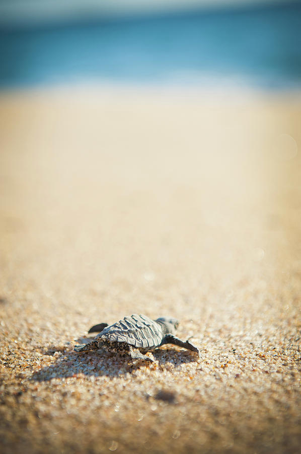 Baby Pacific Green Sea Turtle Heads For Photograph by Stephen Simpson