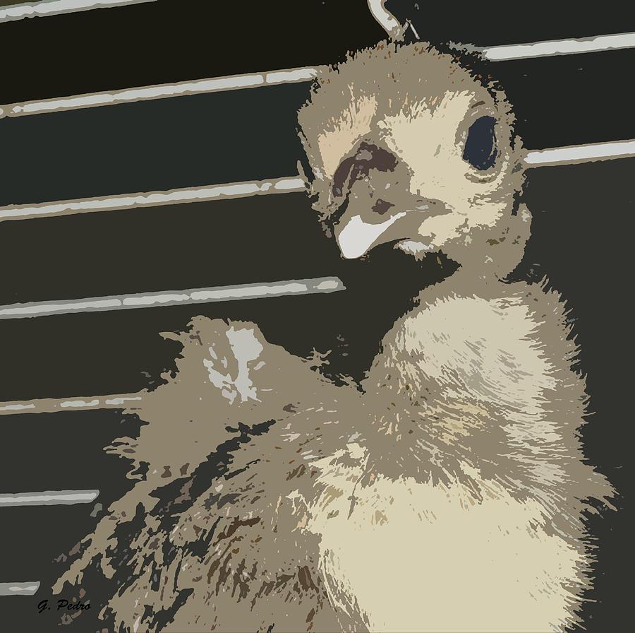 Baby Pea Fowl Photograph