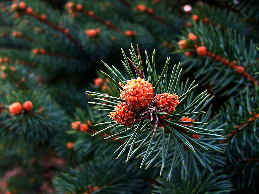 Pine Cones Photograph - Baby Pinecones by Julie Dant