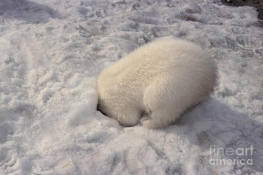 Baby Polar Bear Hiding Photograph By Mark Newman