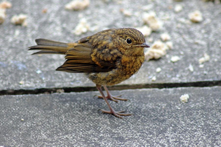 Birds Photograph - Baby Robin Feeding by Tony Murtagh