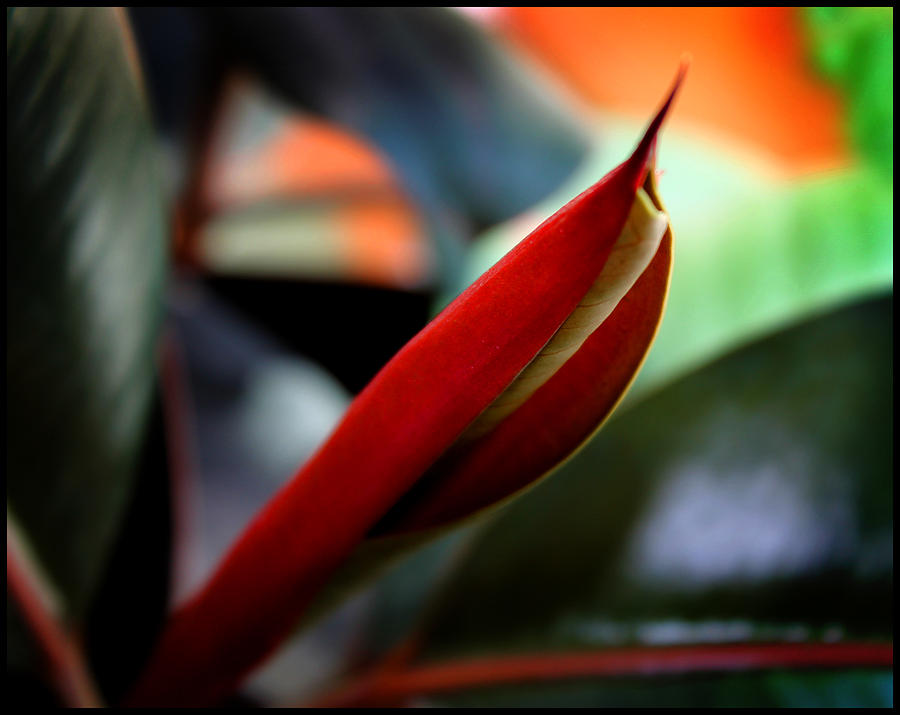 Flower Photograph - Baby Rubber Tree by Aya Murrells