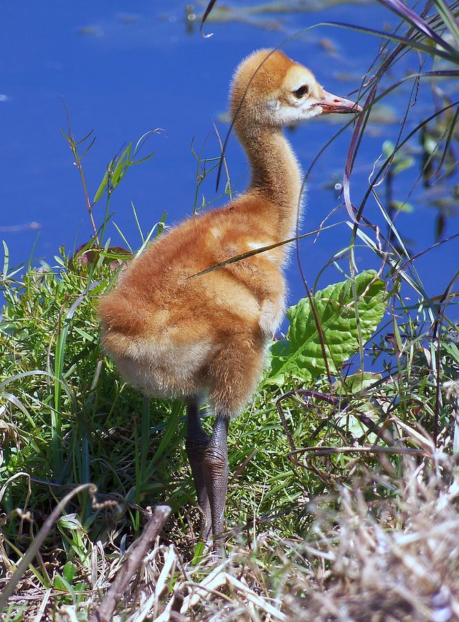 Modern Bird Photograph - Baby Sandhill Crane 064  by Chris Mercer
