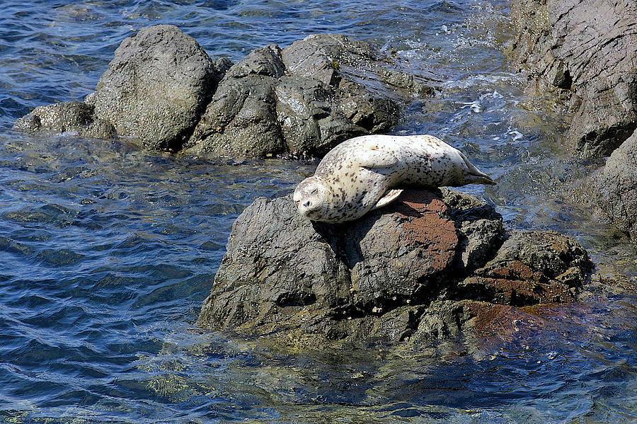 Young Animal Photograph - Baby Sea Lion On Rock At San Juan Island by Evgeny Vasenev