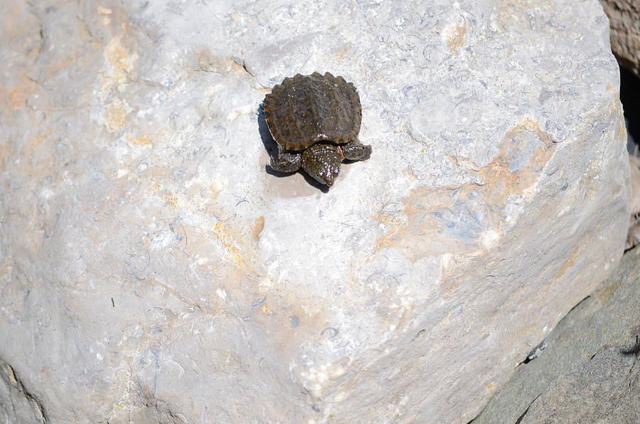 Nature Photograph - Baby Snapping Turtle by Jennifer  King