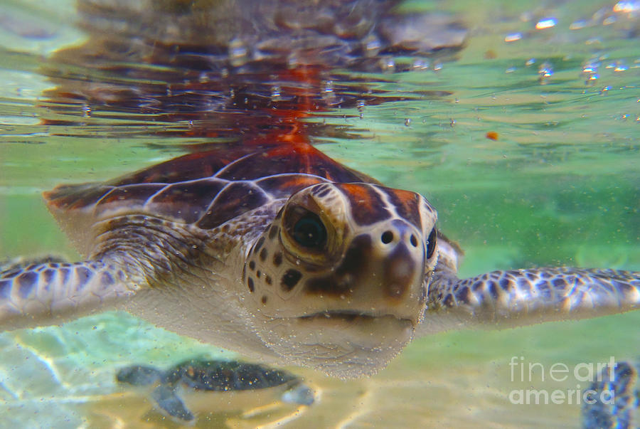 Turtle Photograph - Baby turtle by Carey Chen