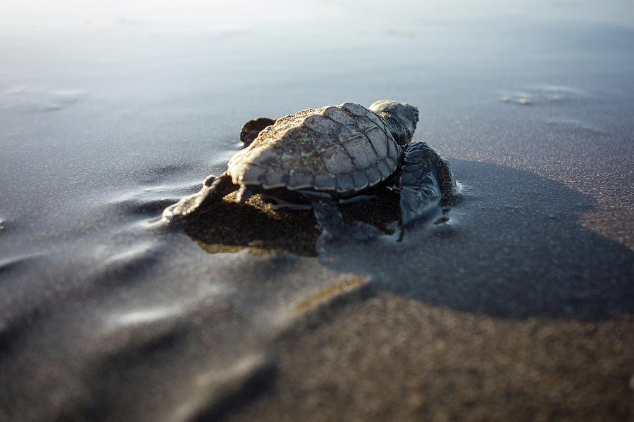 Baby Turtle Walking To The Sea Photograph by Photo By P.folrev