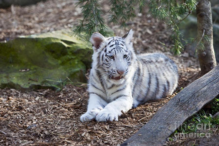 baby white tiger - 900×600
