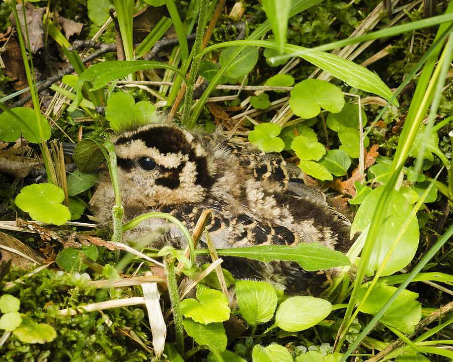 Benzie County Photograph - Baby Woodcock by Thomas Pettengill