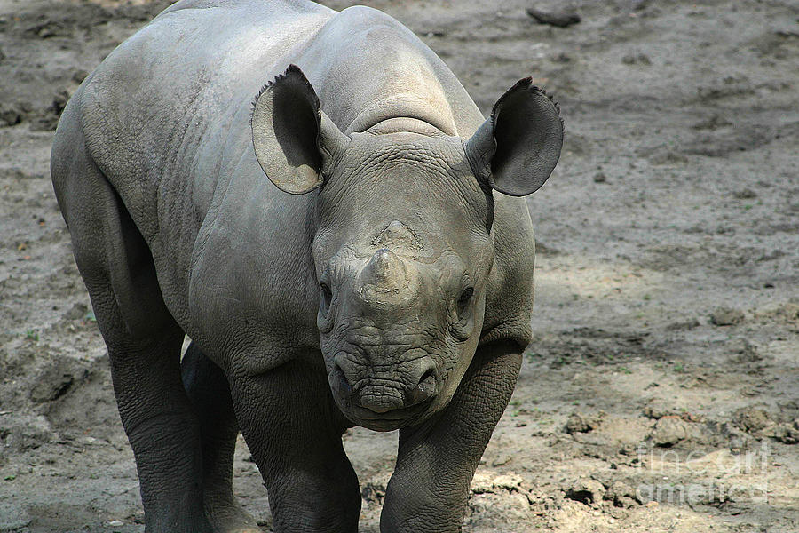 Baby Black Rhino-7210 Photograph by Gary Gingrich Galleries