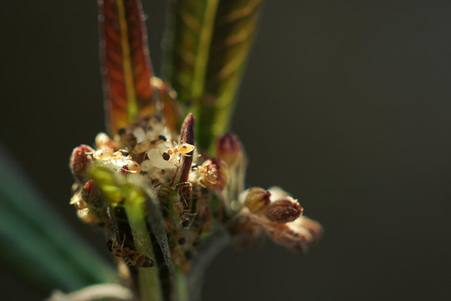 Ant Photograph - Babys Milkweed by Sean Green