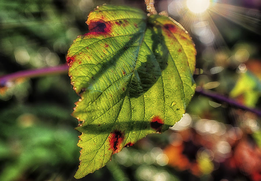 Backlight Photograph - Back Lite Fall Leave by Ray Still