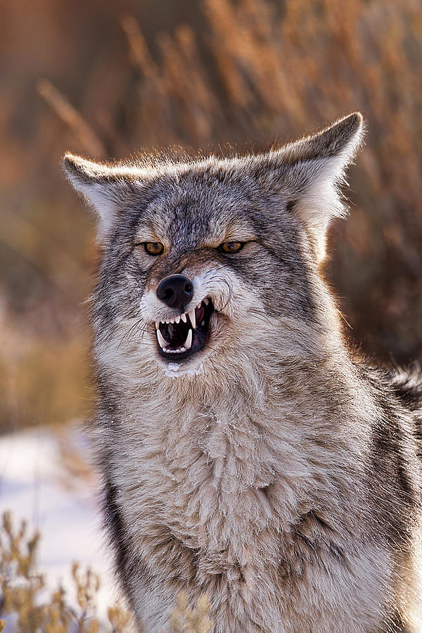 Coyote Photograph - Back Off by Jana Thompson