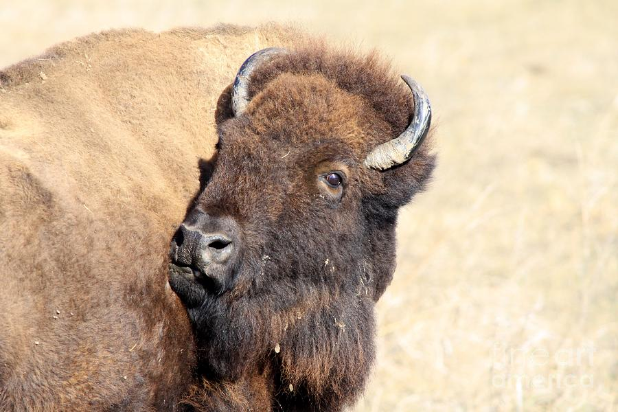 Bison Photograph - Back Off by Rick Rauzi