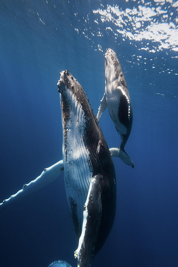 Whale Photograph - Back To The Surface by Barathieu Gabriel