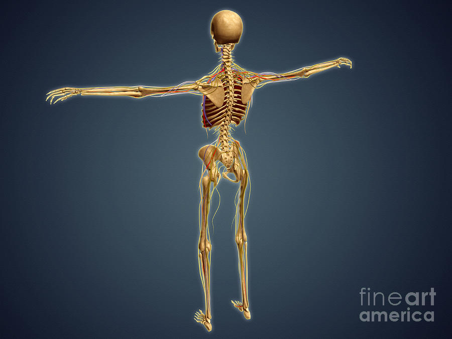 Back View Of Human Skeleton Digital Art By Stocktrek Images