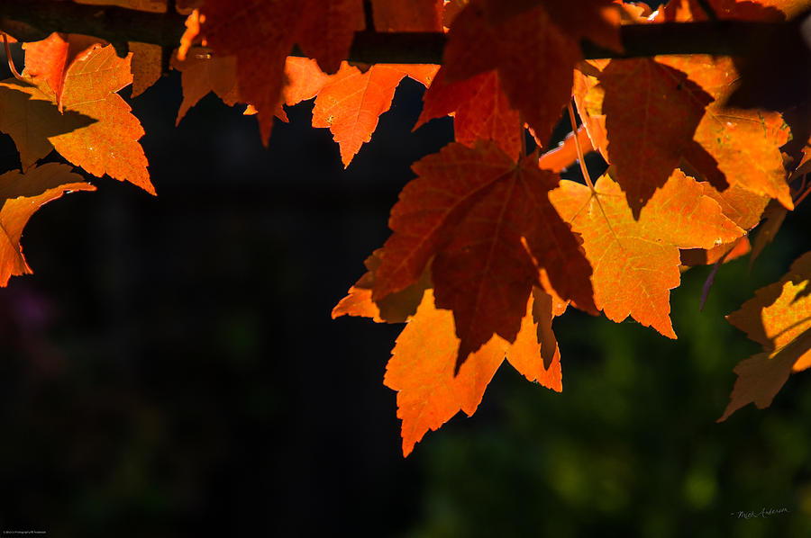 Back Light Photograph - Backlit Autumn Maple Leaves by Mick Anderson