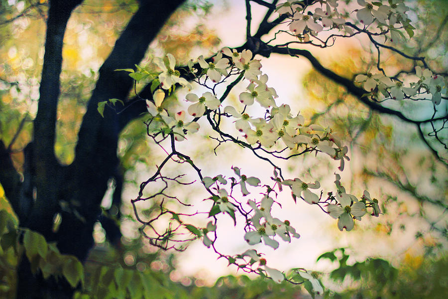 Dogwood Photograph - Backlit Blossom by Jessica Jenney