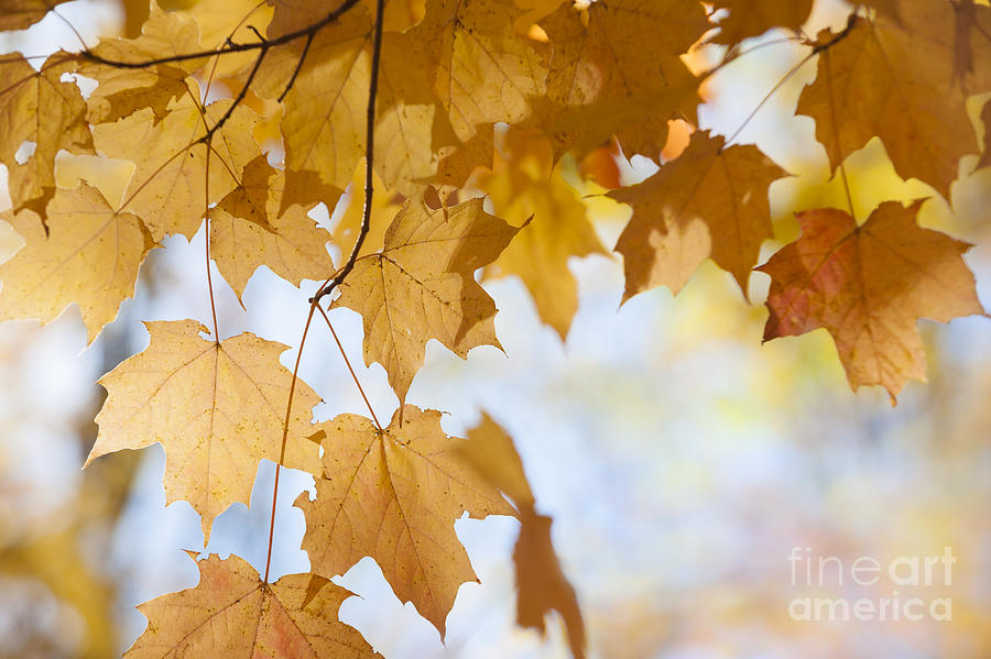 Maple Photograph - Backlit Maple Leaves In Fall by Elena Elisseeva