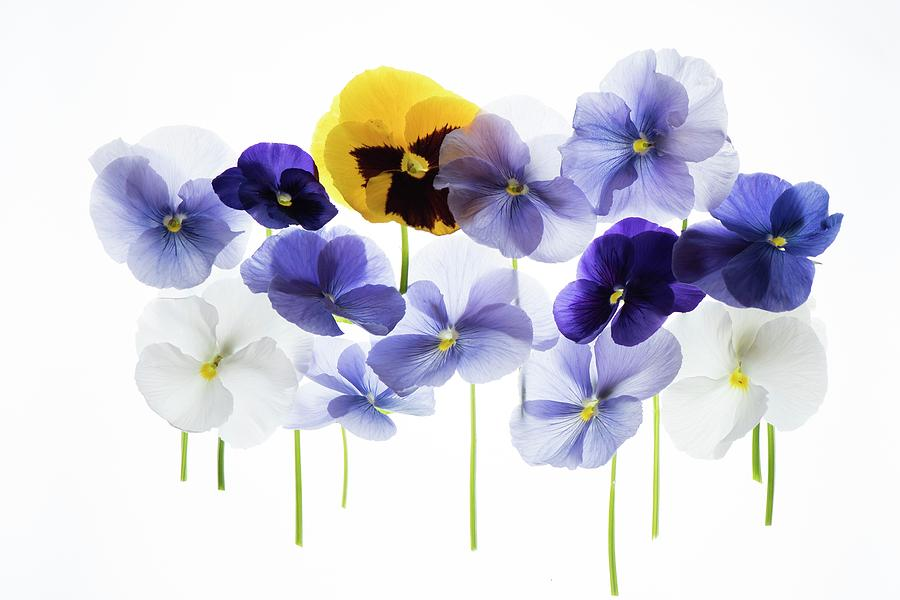Back Light Photograph - Backlit Pansies by Photostock-israel/science Photo Library