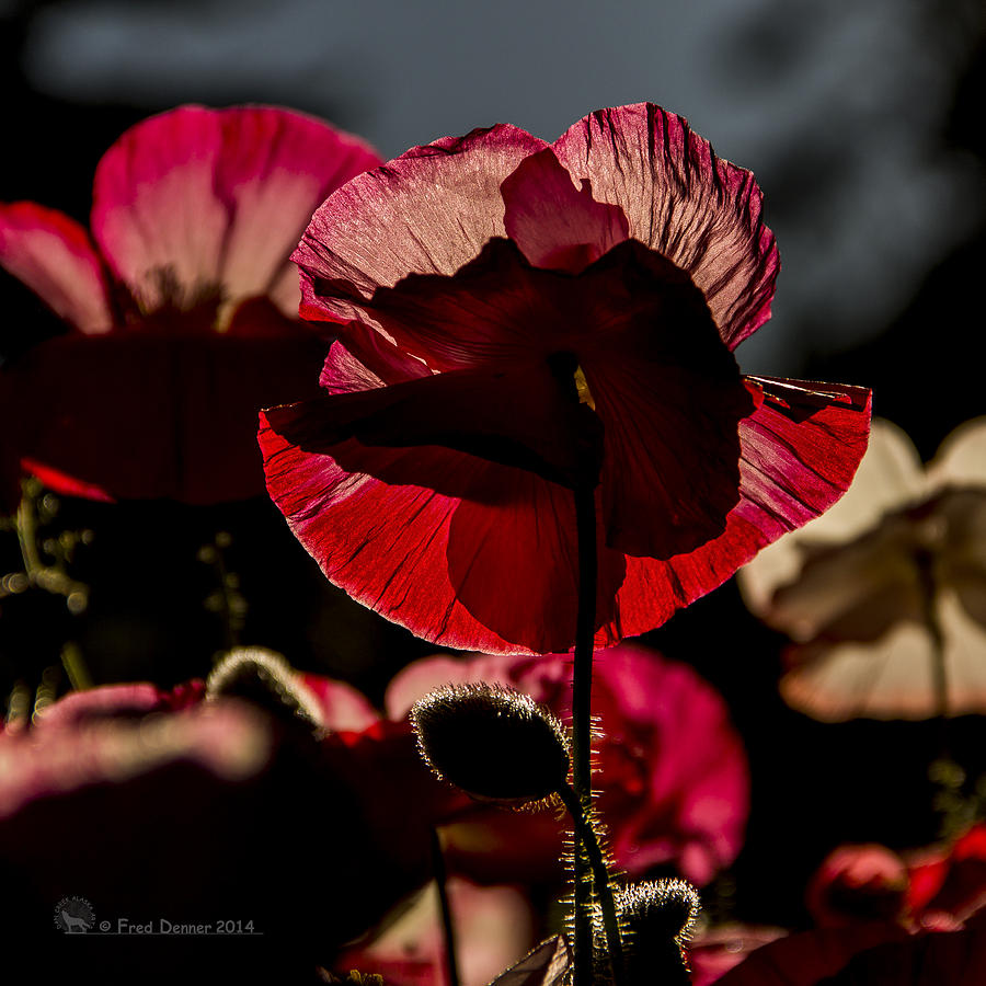 Backlit Poppy #2 by Fred Denner