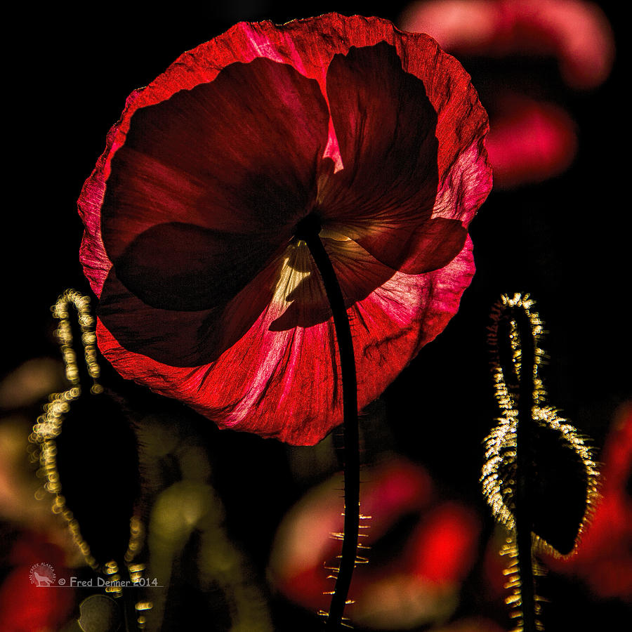 Backlit Poppy by Fred Denner