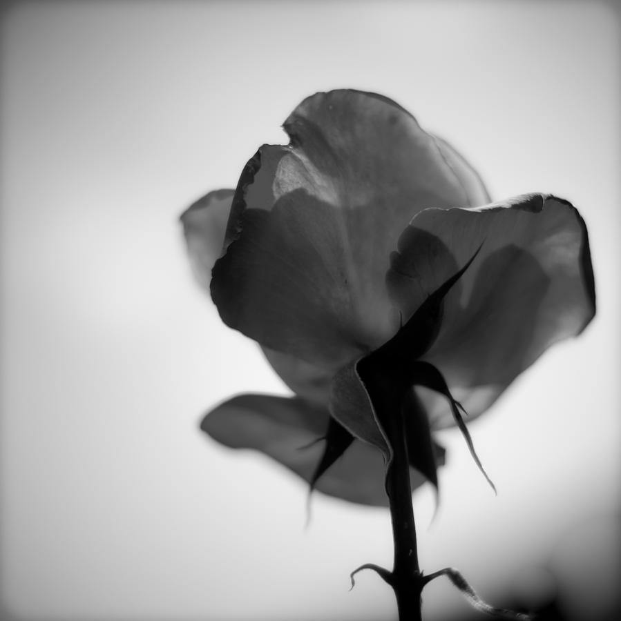 Rose photograph backlit rose black and white by ron white