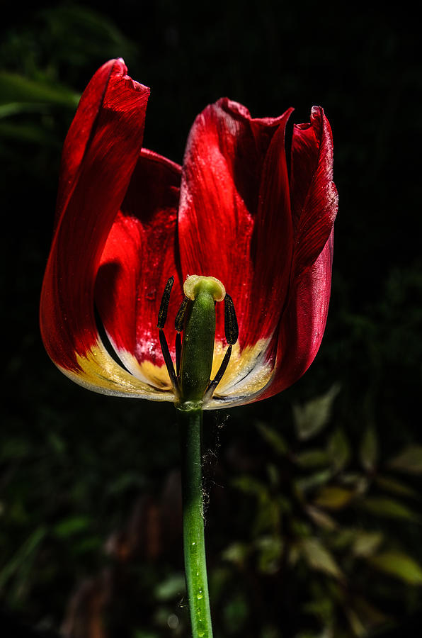 Spring Photograph - Backlit Tulip by Michael Goyberg