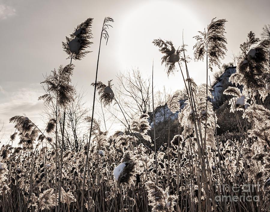 Reeds Photograph - Backlit Winter Reeds by Elena Elisseeva