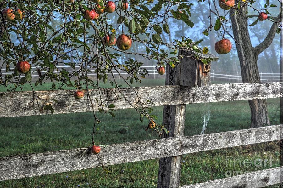 apples photograph backyard apple tree by krista hott