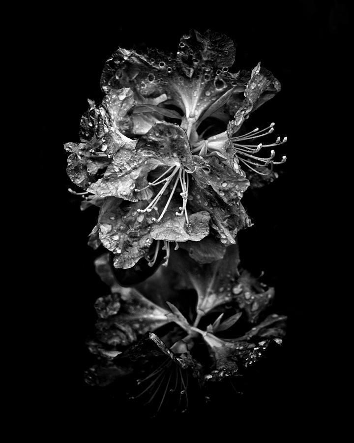 Abstract Photograph - Backyard Flowers In Black And White 1 After The Storm by Brian Carson